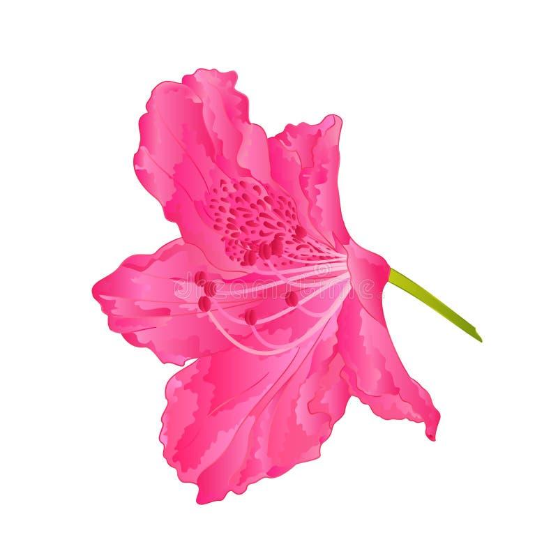 Vetor cor-de-rosa do arbusto da montanha do rododendro nove das flores ilustração do vetor