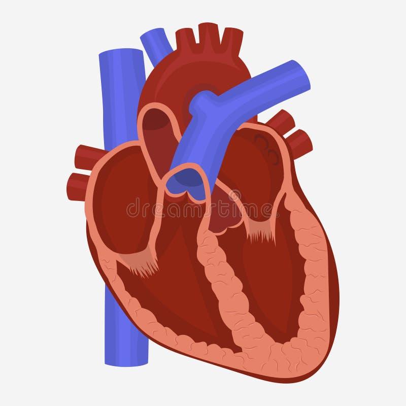 Vetor da anatomia do coração ilustração royalty free