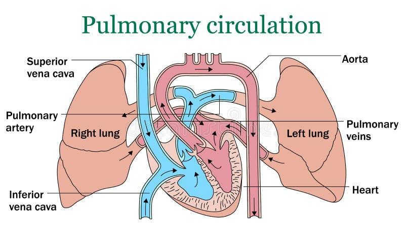 Vetor da circulação pulmonaa ilustração do vetor