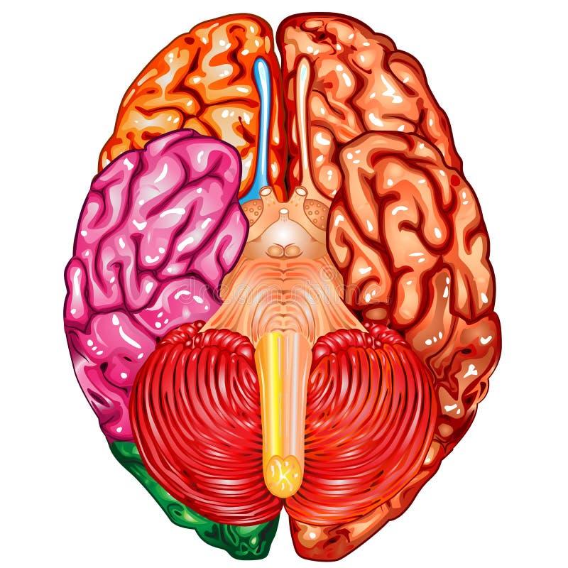 Vetor da opinião do lado de baixo do cérebro humano ilustração do vetor