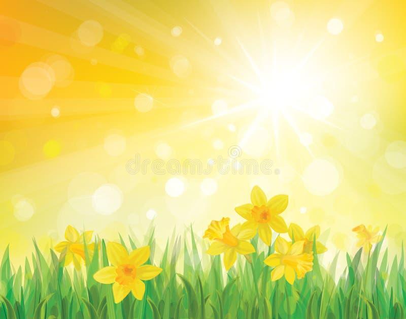 Vetor de flores do narciso amarelo no fundo da mola. ilustração stock