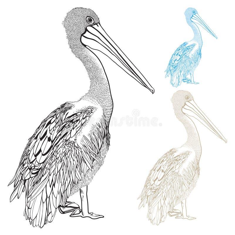 Vetor desenhado à mão do pelicano ilustração stock