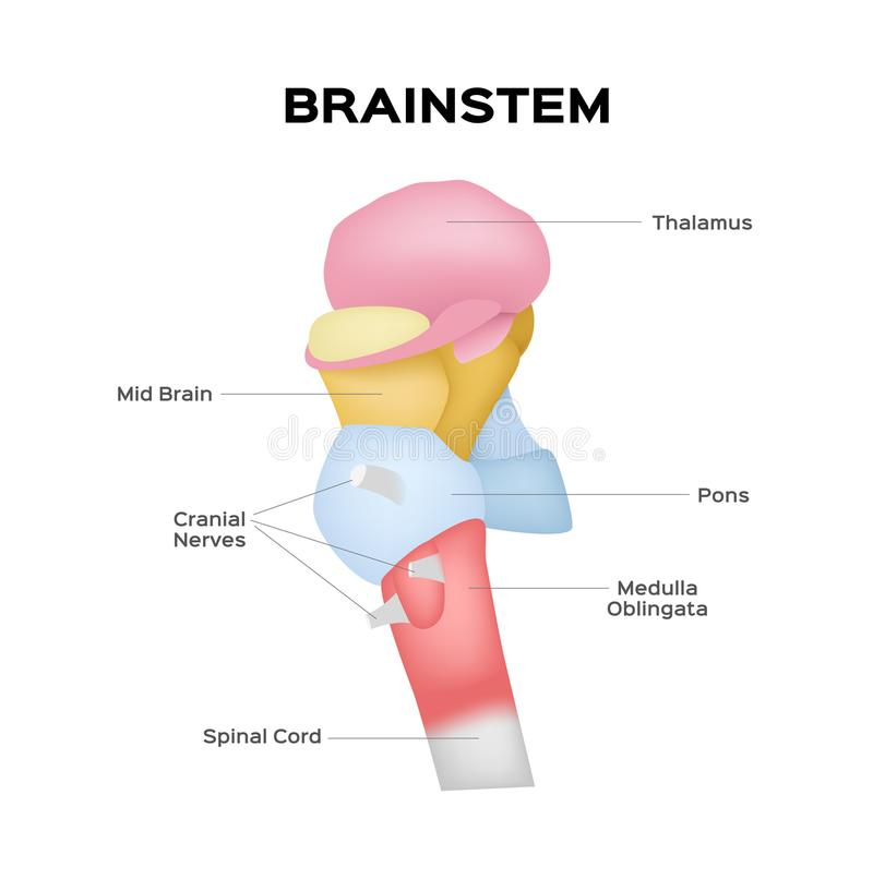 Vetor do Brainstem ilustração stock