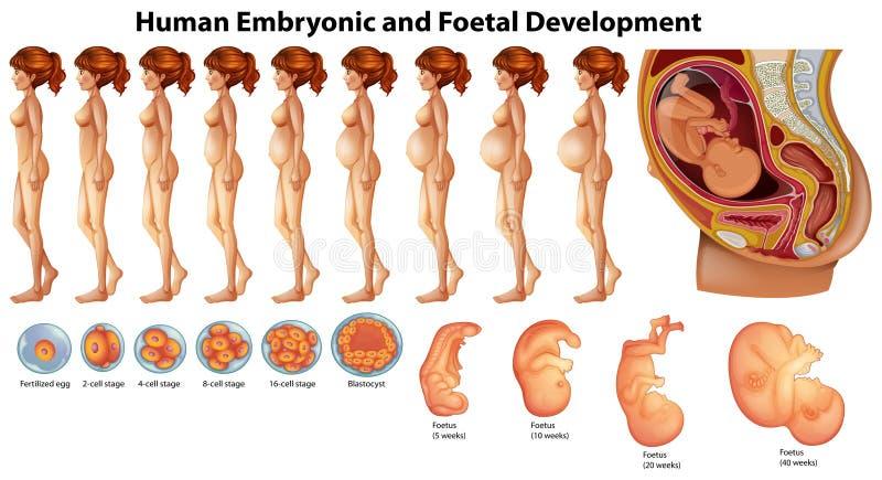 Vetor do desenvolvimento embrionário e fetal humano ilustração royalty free