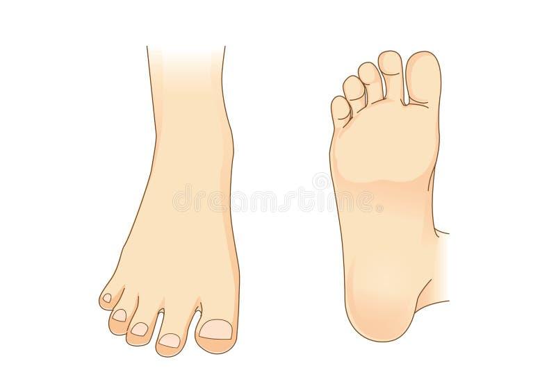 Vetor do pé na ideia lateral e na parte inferior do pé ilustração royalty free