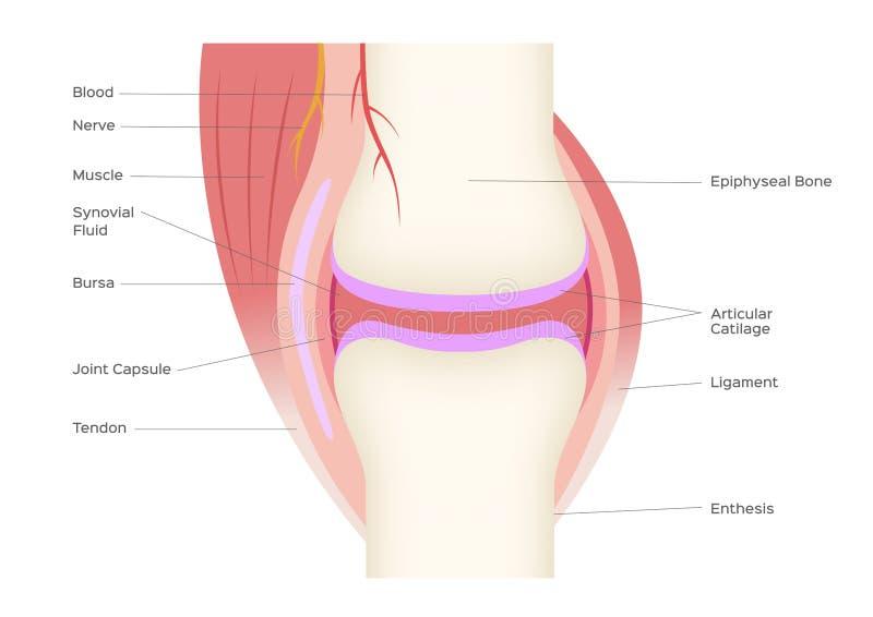 Vetor humano comum da anatomia do osso infographic ilustração royalty free