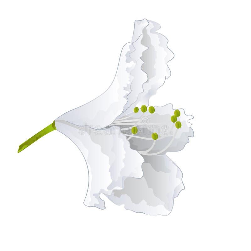 Vetor simples do rododendro da flor branca ilustração royalty free