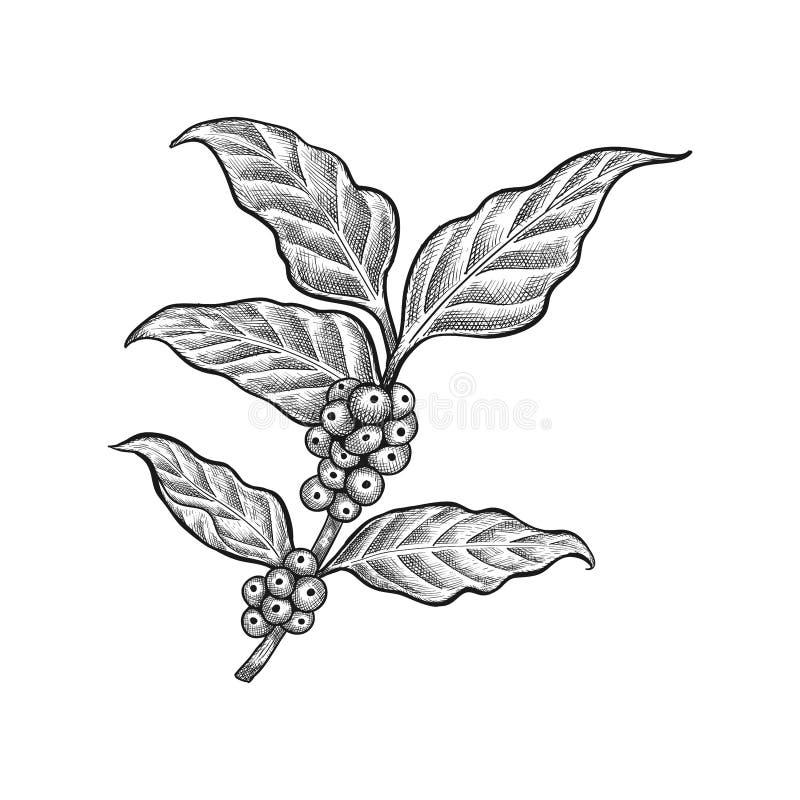 Vetor tirado mão da folha do café - vetor do feijão de café ilustração royalty free