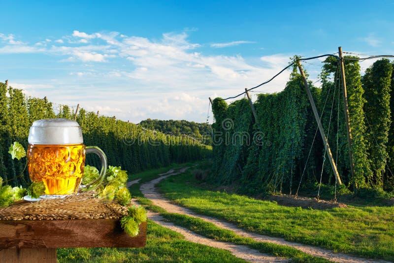 Vetro di birra con orzo davanti al campo di luppolo immagine stock libera da diritti
