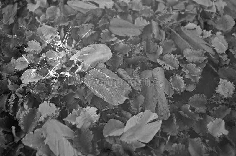 Vetro rotto della trasparenza sopra i frutti in bianco e nero fotografie stock