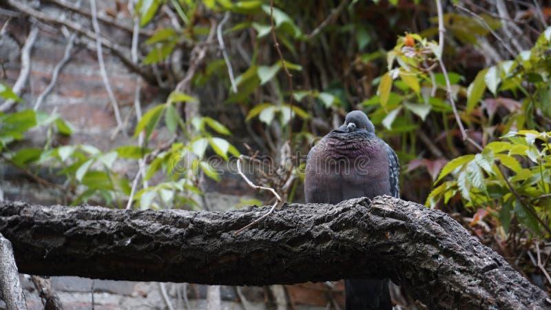 Vette duif die grappige zitting op logboek kijken royalty-vrije stock fotografie