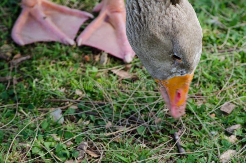 Vette grijze gans die en op groen gras bij Honderdjarig Park, Sydney, Australië lopen eten royalty-vrije stock foto's