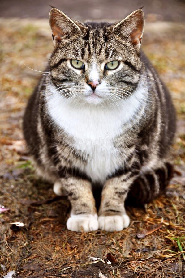 Vette hongerige kat stock afbeelding