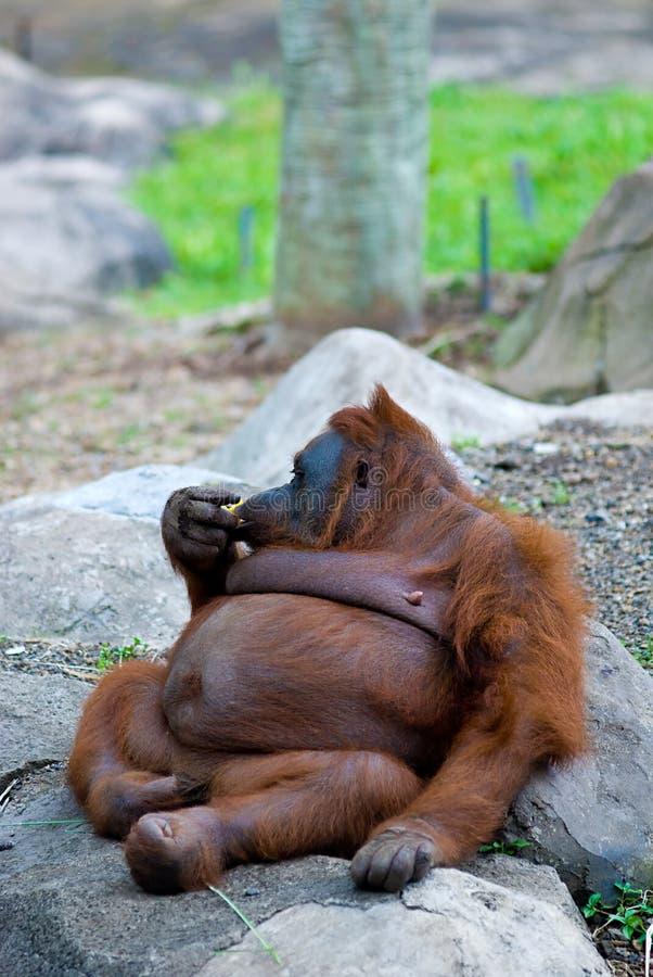 Vette Orang-oetan Utan royalty-vrije stock foto's