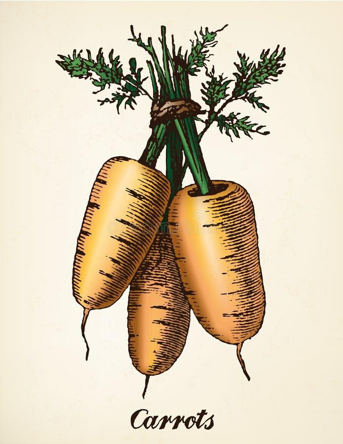 Vettore d'annata dell'illustrazione delle carote illustrazione vettoriale
