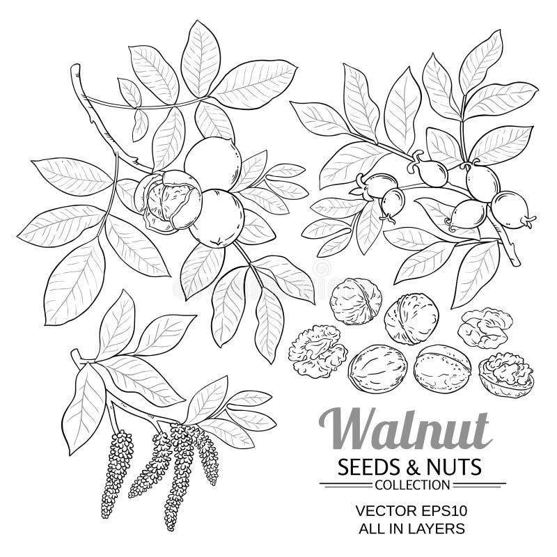 Vettore della pianta della noce illustrazione vettoriale