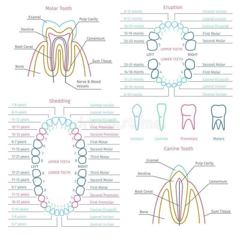 Vettore dentario di anatomia del dente da latte e dell'adulto illustrazione di stock