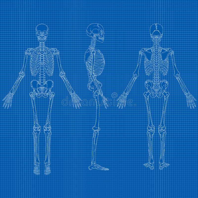Vettore di scheletro umano del modello illustrazione for Pianificatore di blueprint gratuito