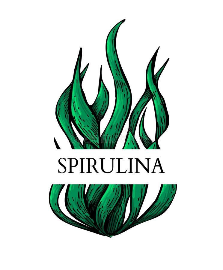 Vettore disegnato a mano delle alghe di Spirulina Etichetta isolata su fondo bianco Superfood royalty illustrazione gratis
