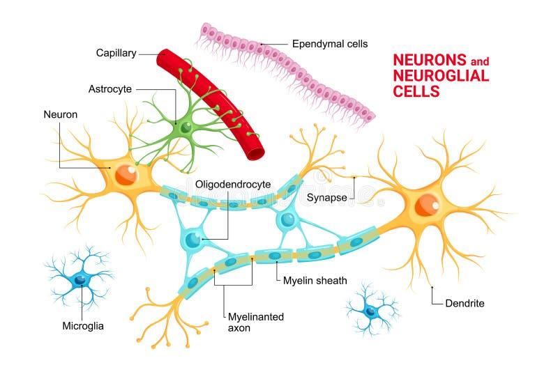 Vettore infographic di Neuroglia delle cellule glial e del neurone Astrocyte, microglia ed oligodendrocyte, ependymocytes ependym illustrazione vettoriale