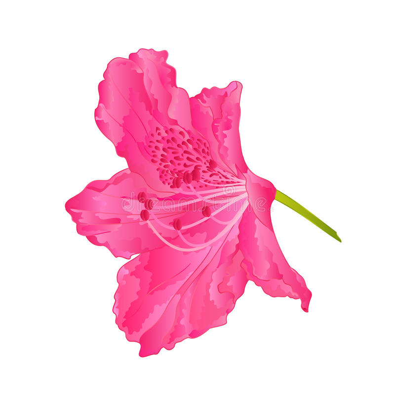 Vettore rosa dell'arbusto della montagna del rododendro nove dei fiori illustrazione vettoriale