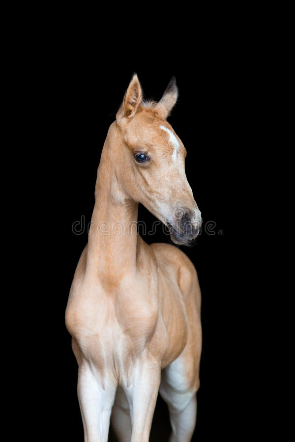 Veulen van een paard op zwarte achtergrond stock fotografie
