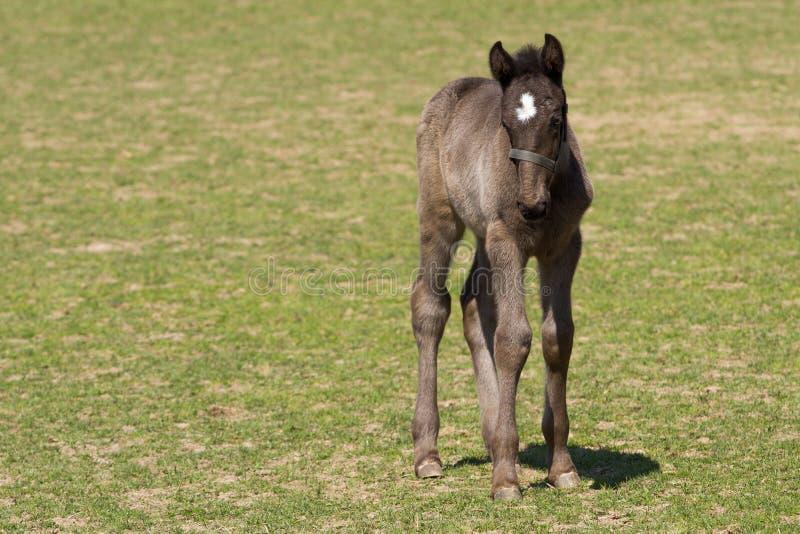Veulen van het Oude zwarte paard van Kladrub royalty-vrije stock fotografie