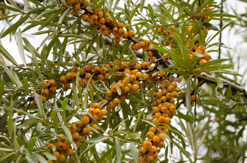 Ripe sea buckthorn berries on the branches. Vew of ripe sea buckthorn berries on the branches royalty free stock photography