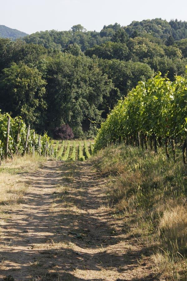 Download Viñedo imagen de archivo. Imagen de agrícola, fabricante - 41906361