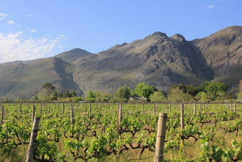 Viñedo cerca de Franschhoek Suráfrica foto de archivo libre de regalías