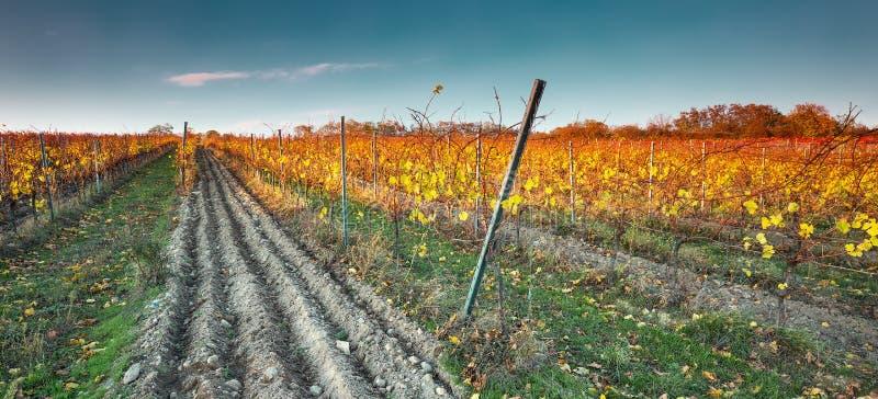 Viñedo colorido del otoño en la montaña cárpata, Bratislava, Pezinok, Eslovaquia fotos de archivo