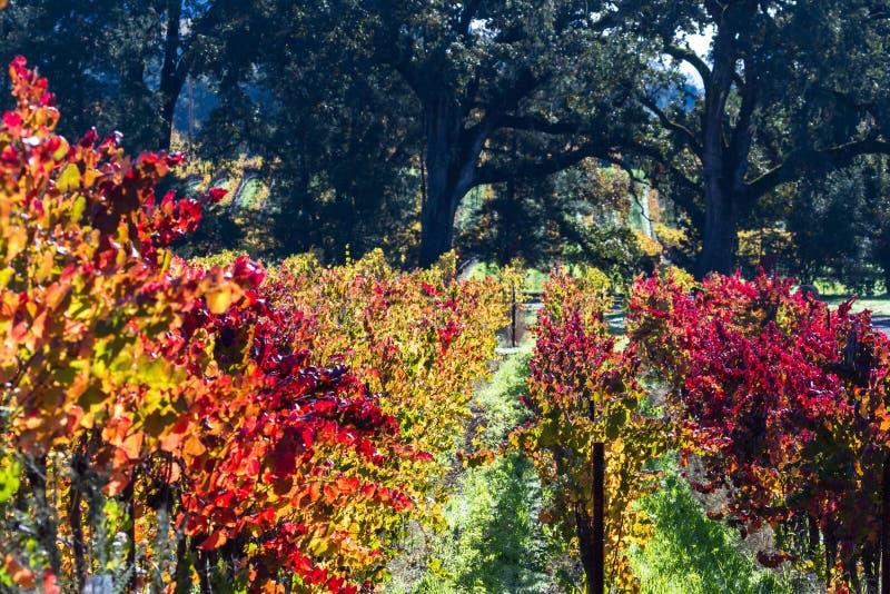 Viñedo colorido en otoño foto de archivo