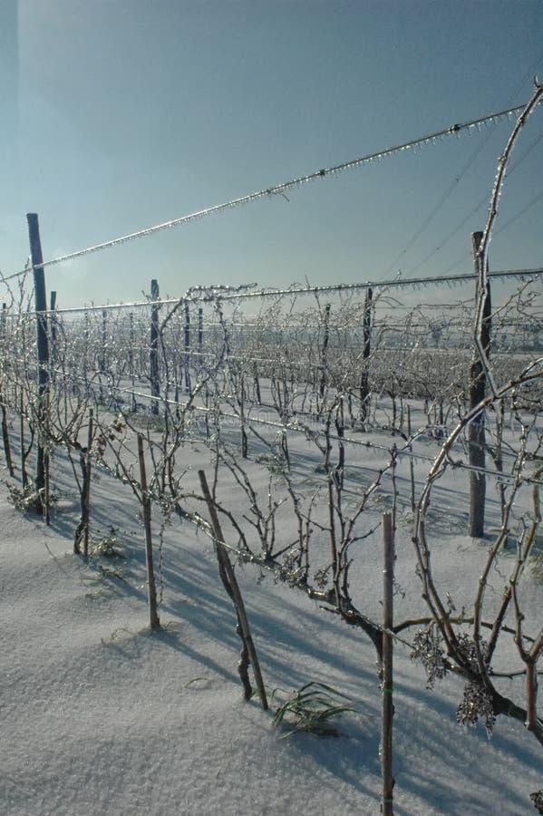 Viñedo congelado después de una tormenta del invierno fotografía de archivo libre de regalías