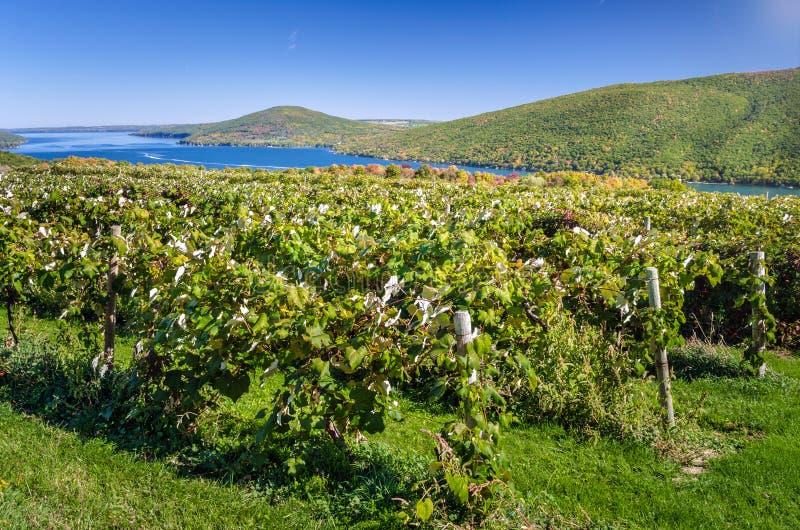 Viñedo de la orilla del lago y cielo azul foto de archivo