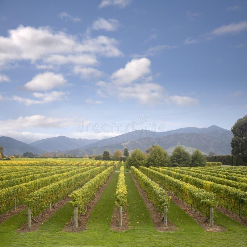 Viñedo de Nueva Zelandia Marlborough en otoño temprano fotos de archivo libres de regalías