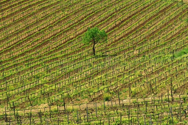 Viñedo de Toscana en el tiempo de primavera con los árboles verdes y el cielo azul imagenes de archivo