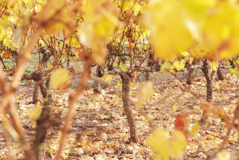 Viñedo del otoño en La Rioja, España imagenes de archivo