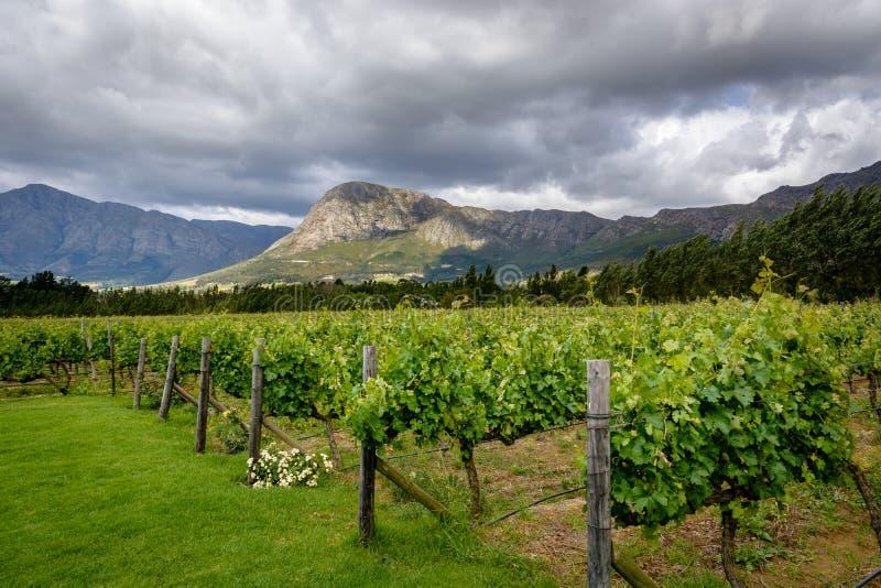 Viñedo en el valle de Franschhoek Winelands en Suráfrica imagenes de archivo