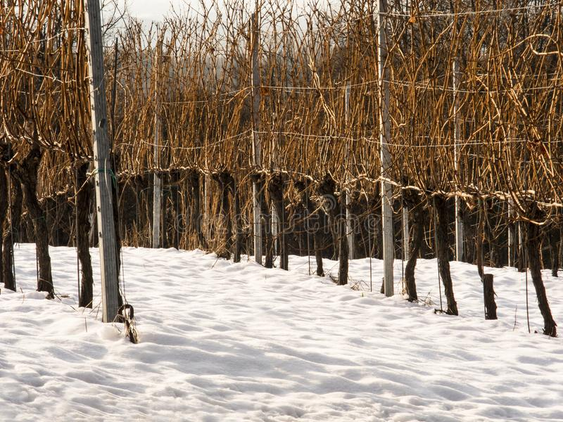 Viñedo en invierno imagen de archivo libre de regalías