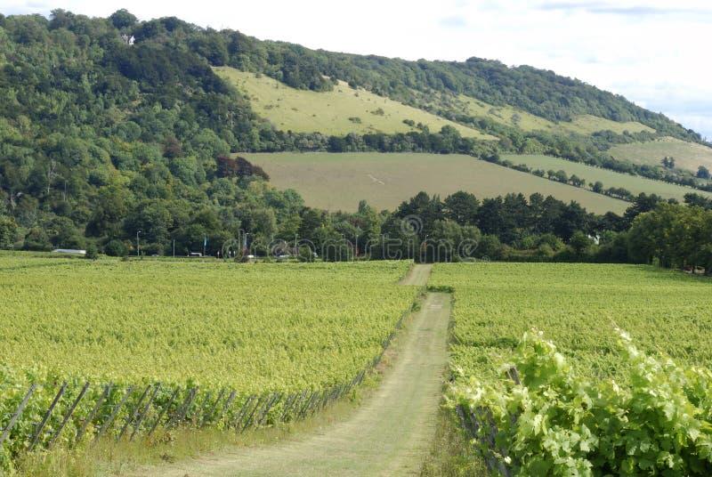 Viñedo inglés. Surrey. Inglaterra fotografía de archivo
