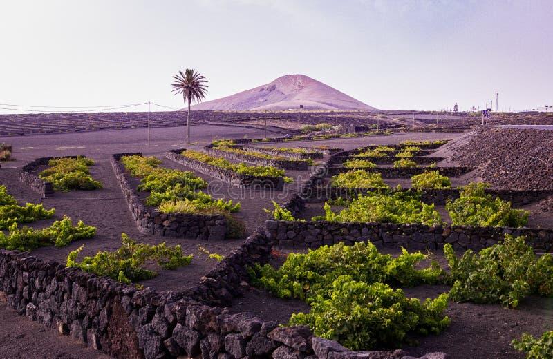 Viñedo Lanzarote, España, islas Canarias imagen de archivo libre de regalías