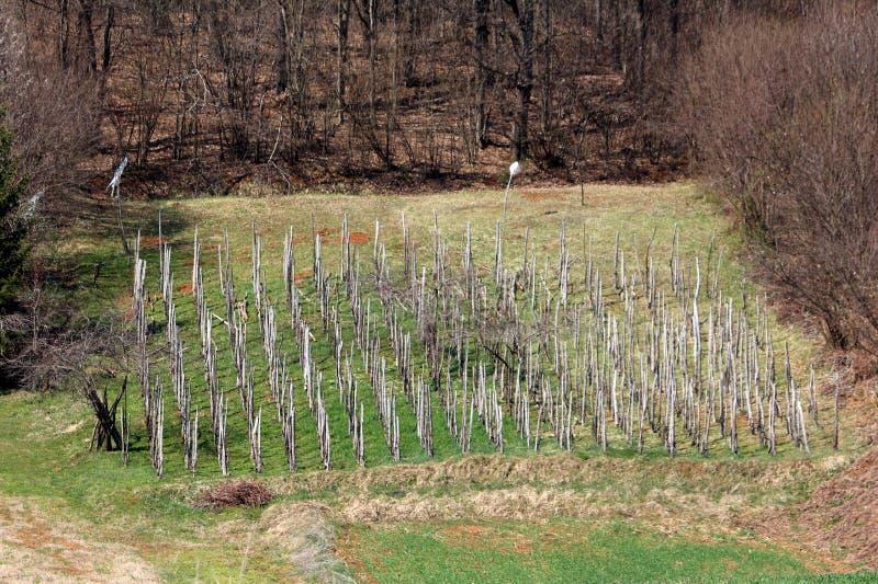 Viñedo viejo hecho de polos de madera múltiples en el lado de la pequeña colina rodeado con la hierba verde sin cortar y el bosqu fotografía de archivo