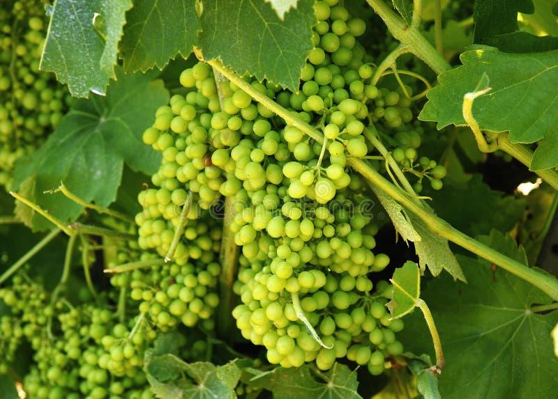 Viñedos con las uvas fotos de archivo