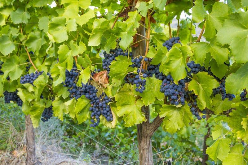 Viñedos con las uvas maduras del tempranillo en la vid foto de archivo