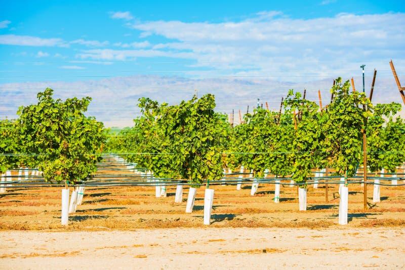 Viñedos de la plantación de las uvas fotos de archivo libres de regalías