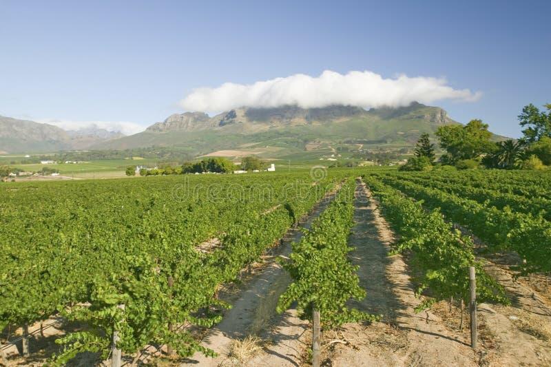 Viñedos de la región del vino de Stellenbosch, fuera de Cape Town, Suráfrica fotos de archivo