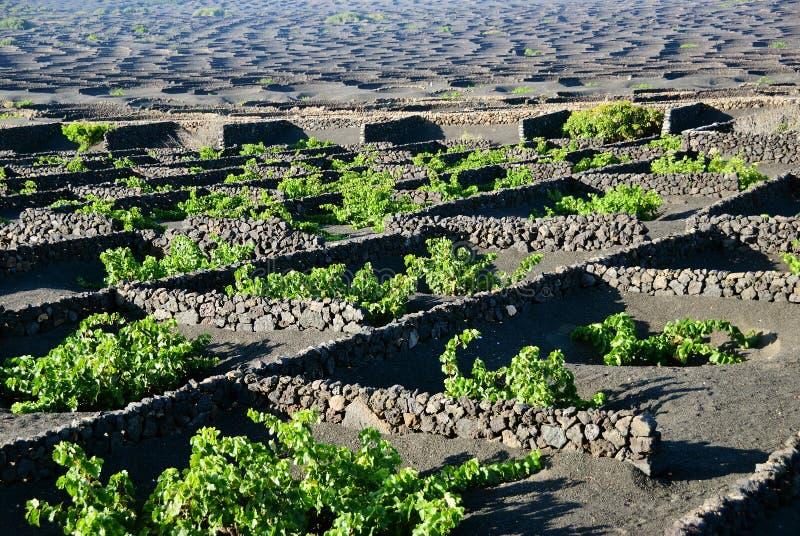 Viñedos de Lanzarote, España imágenes de archivo libres de regalías