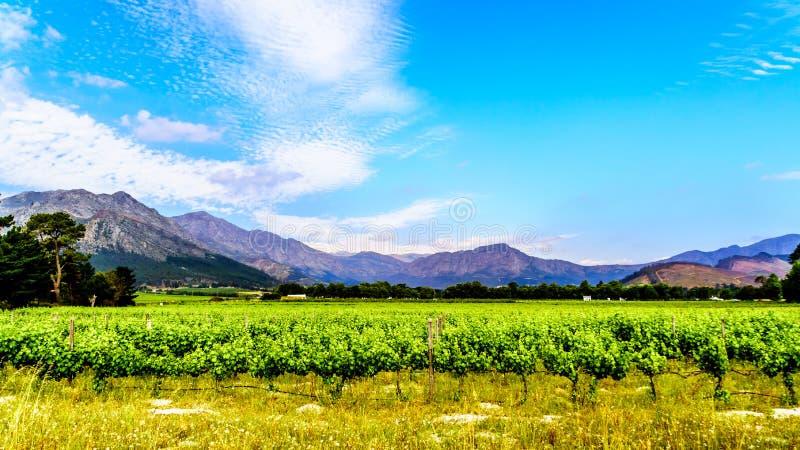 Viñedos del cabo Winelands en el valle de Franschhoek en el Western Cape de Suráfrica, en medio del Drakenstein circundante imágenes de archivo libres de regalías