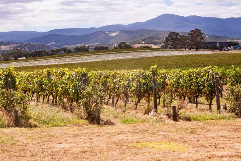 Viñedos en el valle de Yarra cerca de Melbourne, Australia fotografía de archivo