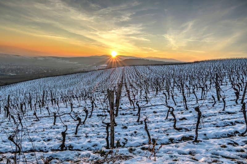 Viñedos en invierno en la puesta del sol foto de archivo